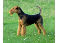airedale_terrier2
