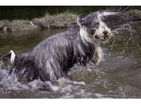 bearded_collie2